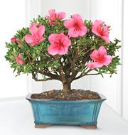 8 inch Blooming Azalea Bonsai