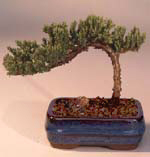 Juniper Bonsai Tree - Small