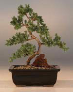 Karate Kid Bonsai Tree