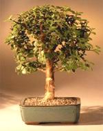 Baby Jade Bonsai Tree - Medium  Portulacaria Afra