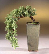 Cascade Style Juniper Bonsai Tree