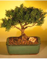 Shimpaku Bonsai Tree