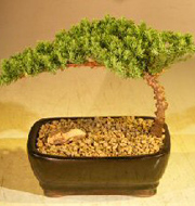 LSmall Juniper Bonsai Tree