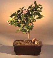 Preserved Upright Juniper Bonsai Tree