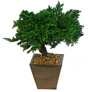 Monterey Juniper Bonsai Tree