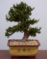 Preserved Upright Juniper Bonsai Tree
