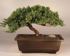 Windswept Bonsai Tree